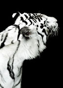 White tigers from Eskilstuna Zoo photographed by Jonas Linell for Vapen & Ammunition